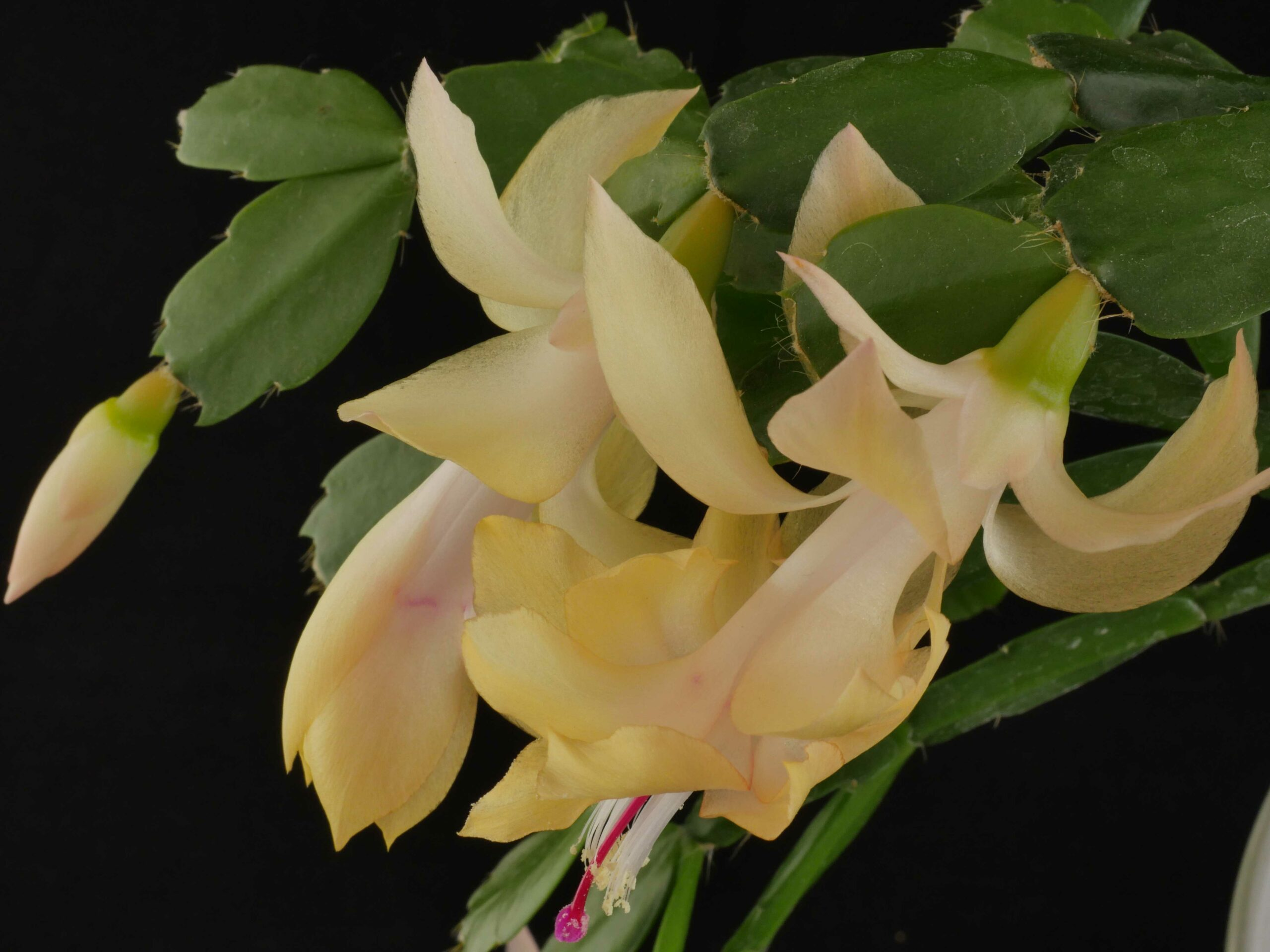 Schlumbergera 'Little Pot o'Gold'